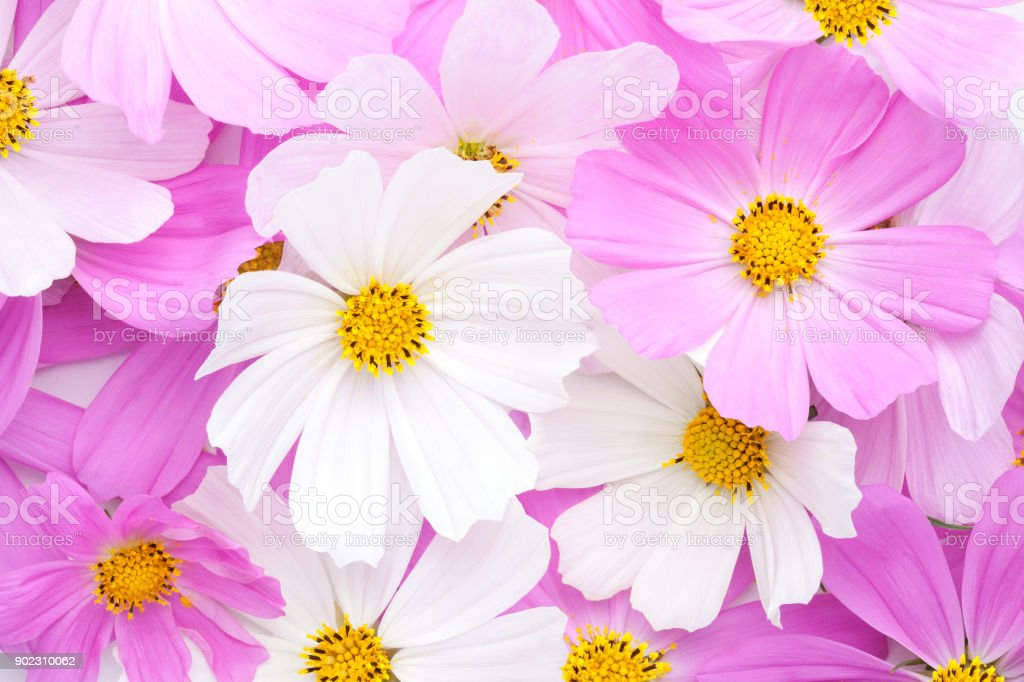 Floral background of light pink and white Cosmos flowers. Flat lay. stock photo