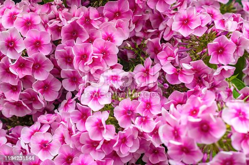 Floral background of pink blooming Phlox paniculata. Texture effect, selective focus.