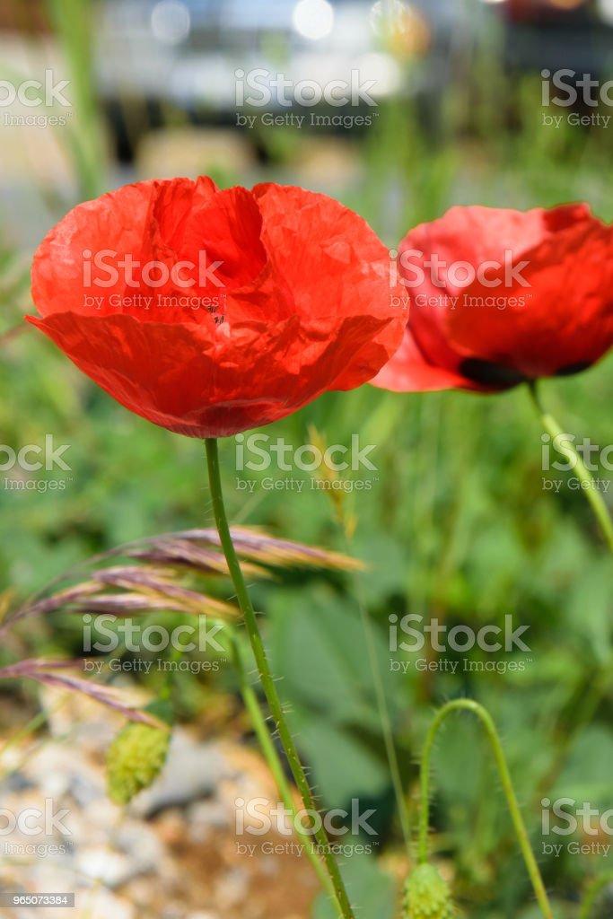 Floral background of poppy flowers, season weather concept zbiór zdjęć royalty-free