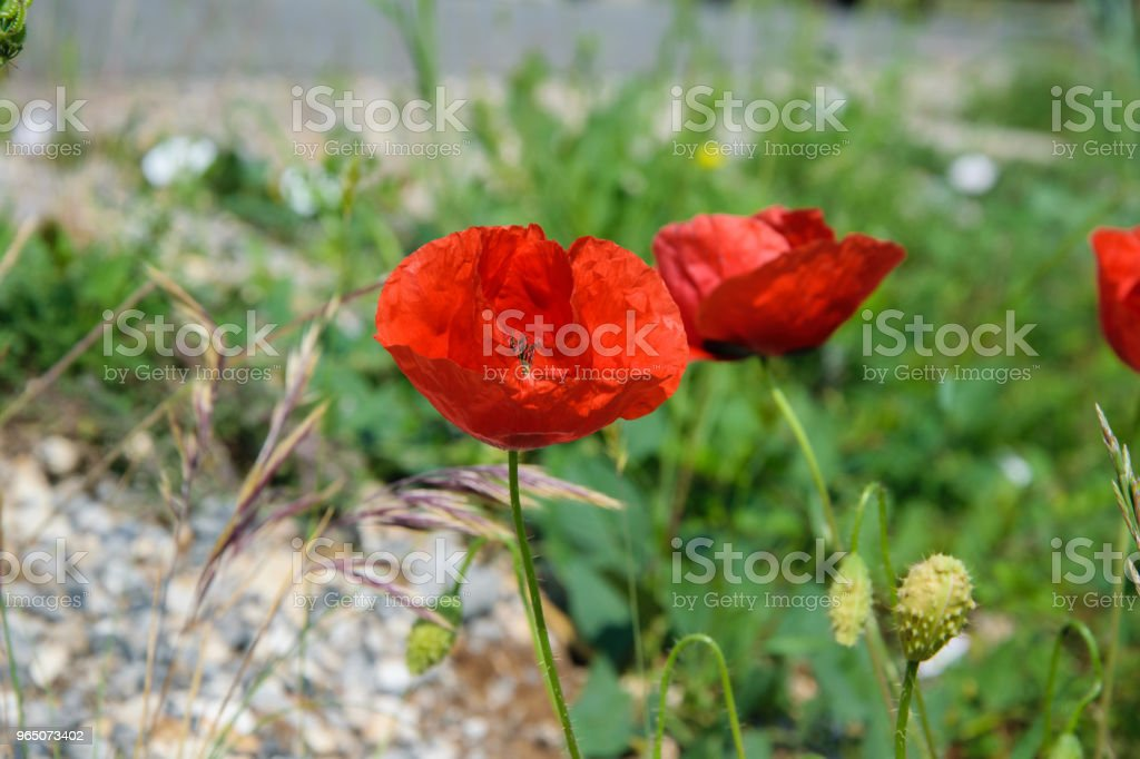 Floral background of poppy flowers, season weather concept royalty-free stock photo