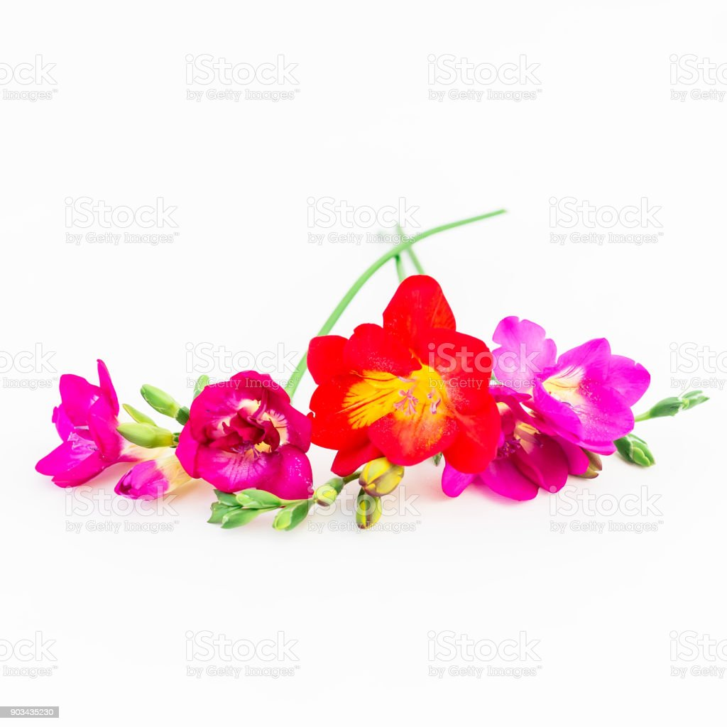 Floral Background Pink And Red Freesia Flowers On White Background