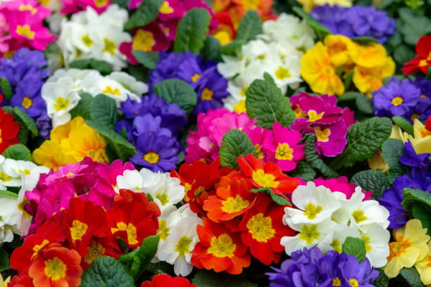 Floral background, spring seasonal colofrul garden primula flowers Floral background, spring seasonal colofrul garden primula flowers close up primula stock pictures, royalty-free photos & images