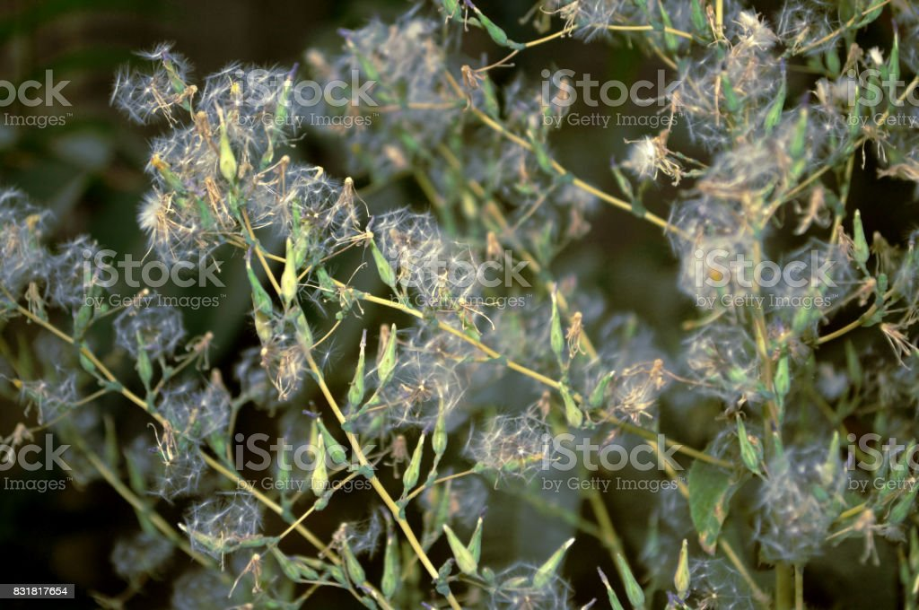 Floral background with fluffy seeds stock photo