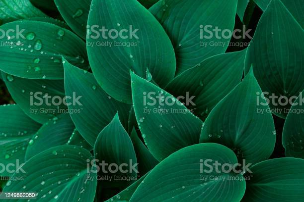 Photo of Floral background with hosta green leaves and water drops.
