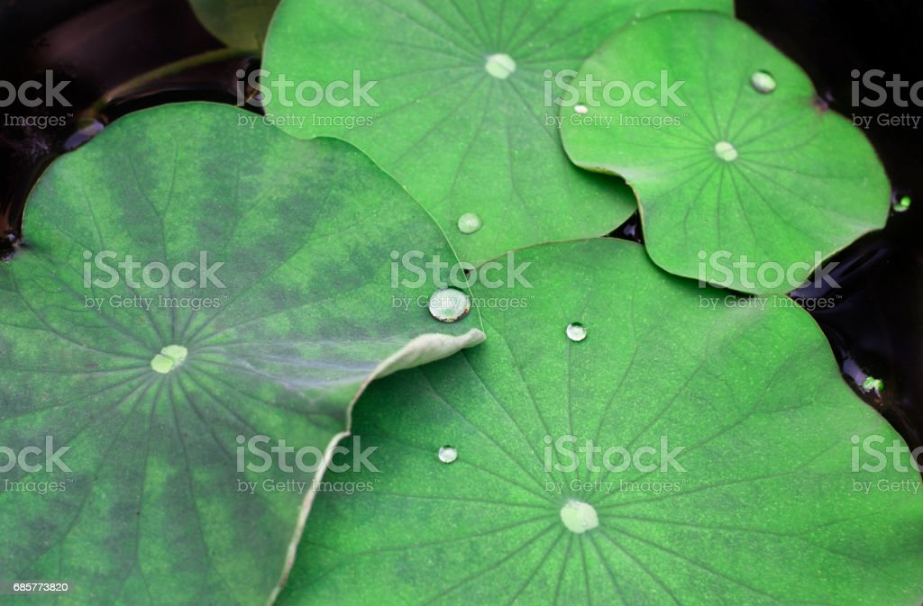 Floral background with water drops on lotus leaves in a dark pond royalty-free stock photo