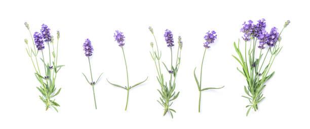 floral banner plat leggen lavendel bloemen - lavendel stockfoto's en -beelden