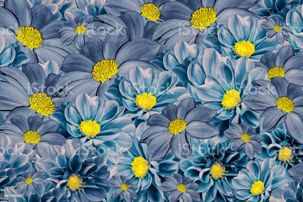 Floral blue-turquoise background of  dahlias. Bright flower arrangement. A bouquet  of blue dahlias. Nature. stock photo