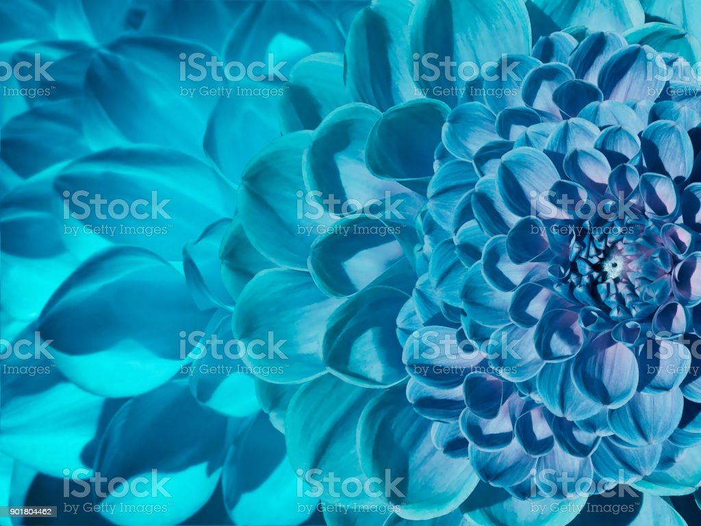 Floral blue-turquoise beautiful background.  Flower composition  of  dahlia flowers.  Close-up.  Nature. stock photo