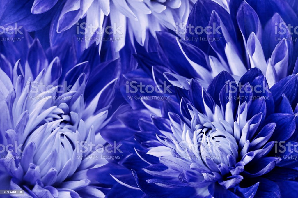 Floral blue-white beautiful background.  Flowers red-yellow dahlias.Flower composition.  Close-up. Nature. stock photo
