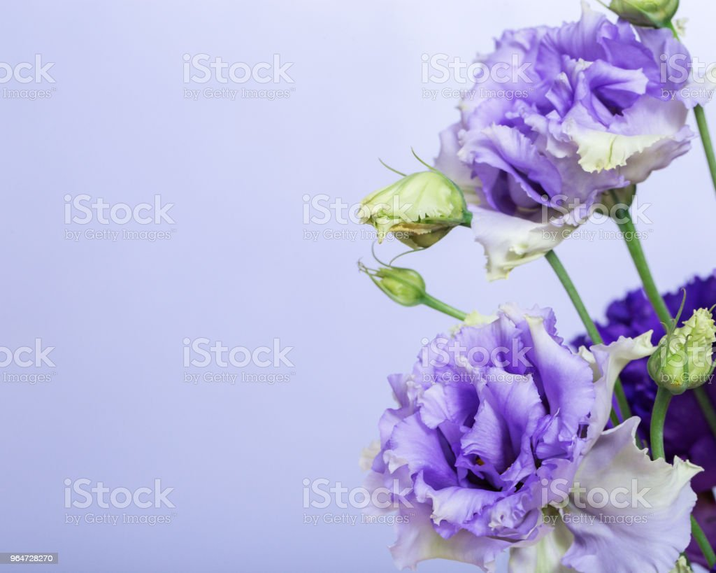 Floral border of blue eustoma flowers royalty-free stock photo
