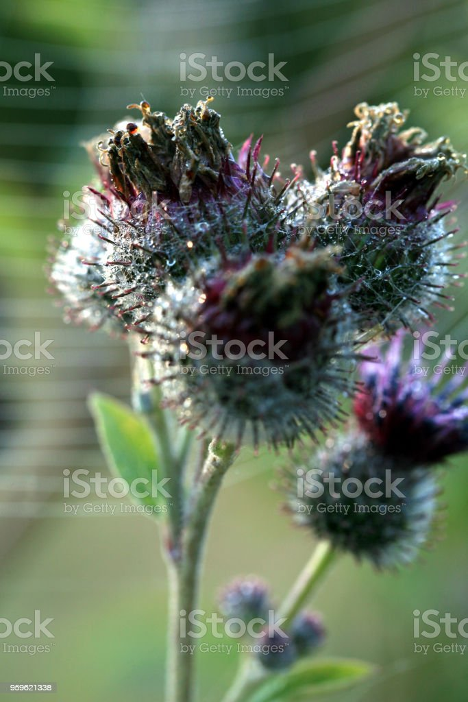 A floral bud of thistle stock photo