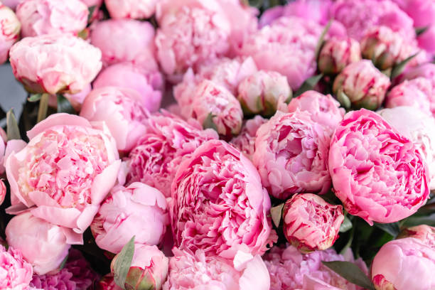 Floral carpet or Wallpaper. Background of pink peonies. Morning light in the room. Beautiful peony flower for catalog or online store. Floral shop and delivery concept . stock photo