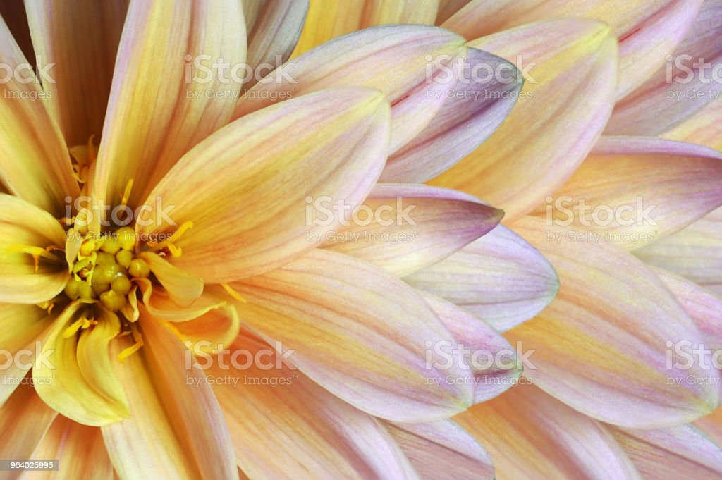 Floral  colorful  yellow-purple-white beautiful background.  Flower composition.  A chrysanthemum flower close-up. Nature. - Royalty-free Adult Stock Photo