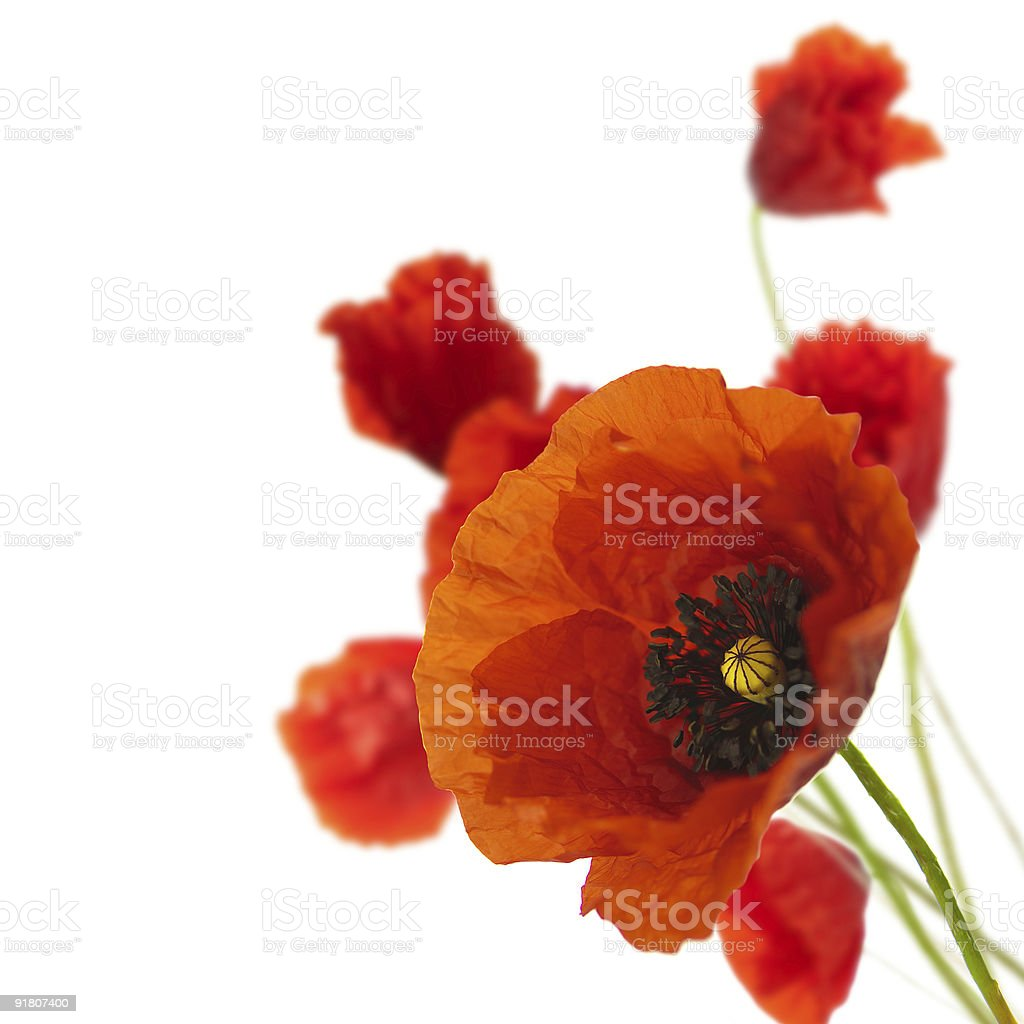 floral design, decoration flowers, poppies border - corner royalty-free stock photo