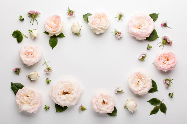 Floral frame made of pink roses and green leaves on white background. stock photo
