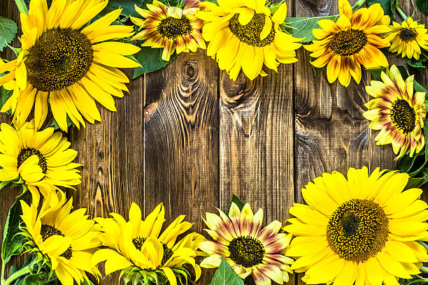 Floral Frame Of Sunflowers On Rustic Wood Background Stock Photo