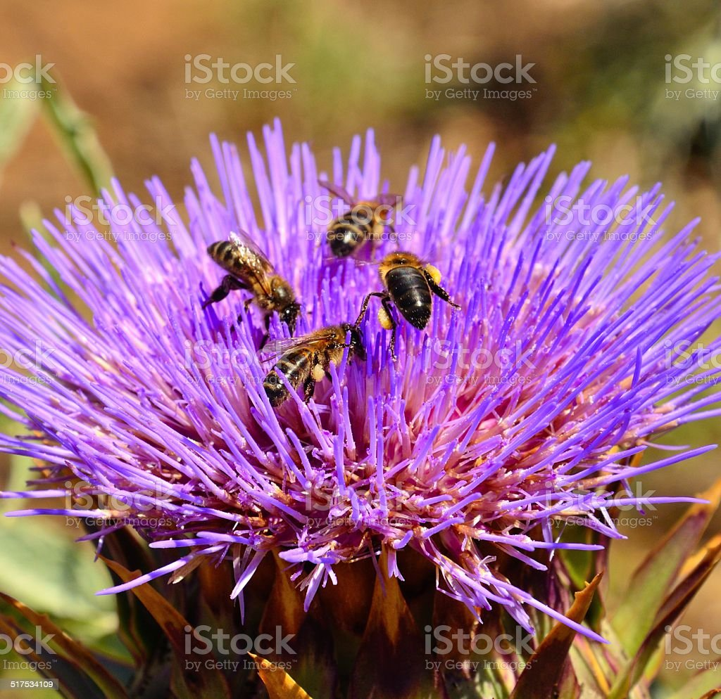 Floral head of artichoke with bees foraging inside stock photo