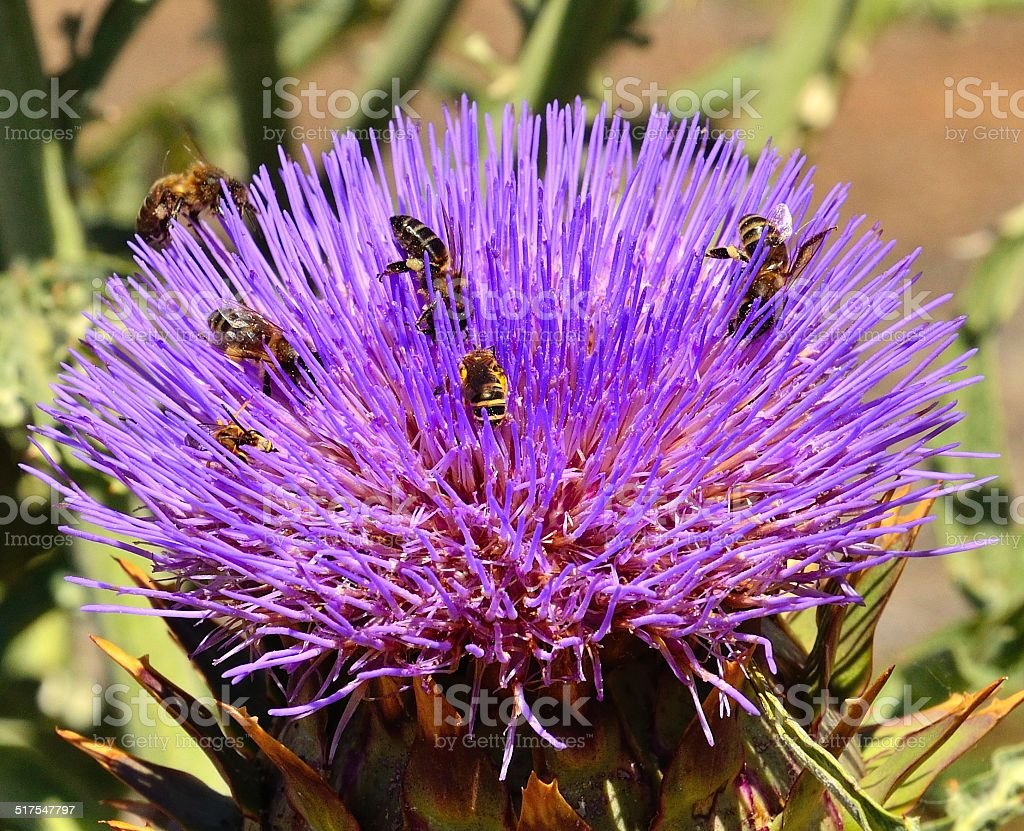 Floral head of wild artichoke with several bees and wasps stock photo