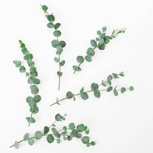 Floral layout made of eucalyptus branches on white background. Flat lay, top view stock photo