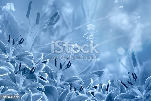 Floral  light blue beautiful background.  Flower composition  of  Blue  flowers Lilies.  Nature.