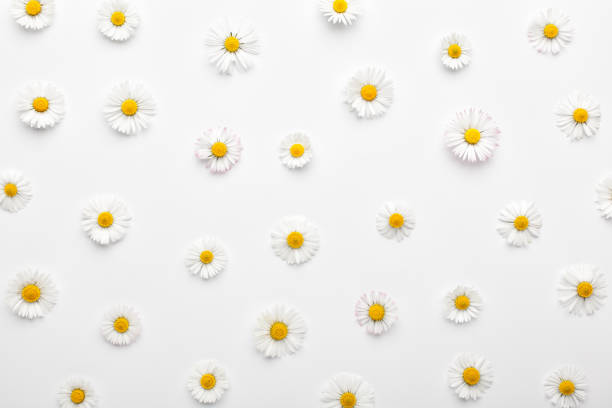 Floral pattern made of white chamomile daisy flowers on white background. stock photo