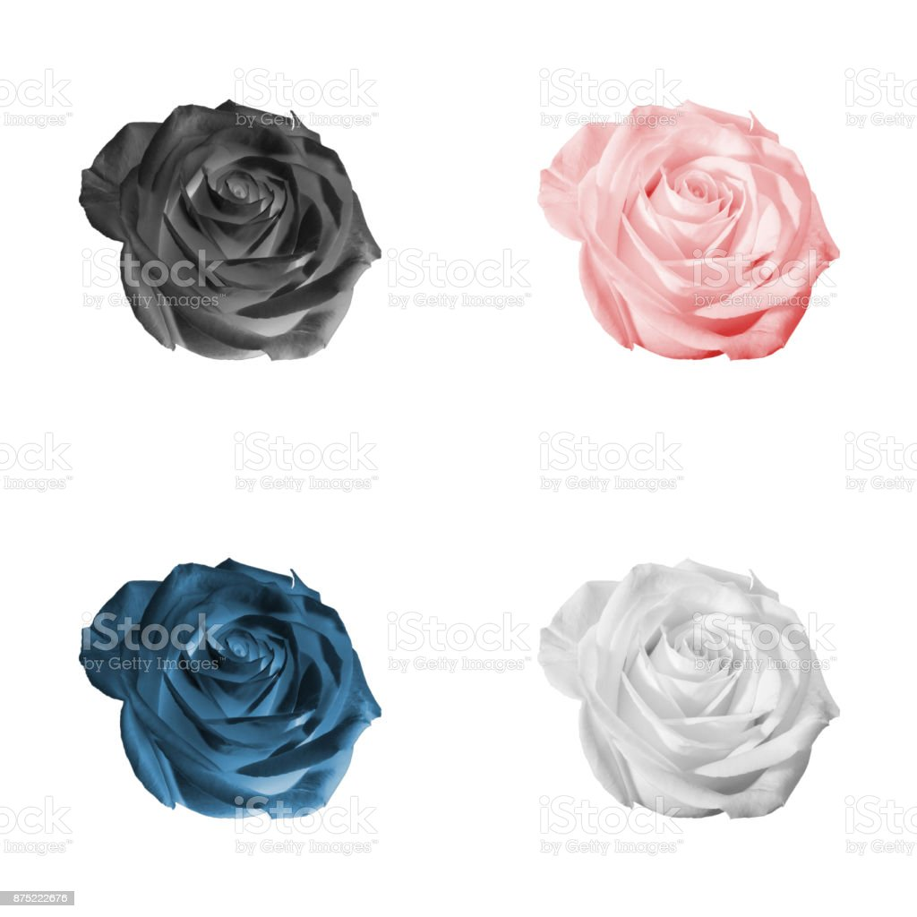 Floral pattern or background: set of four decorative colored (white, black, pink, red, blue) flowers - roses - closeup (close up) isolated on white backdrop. stock photo