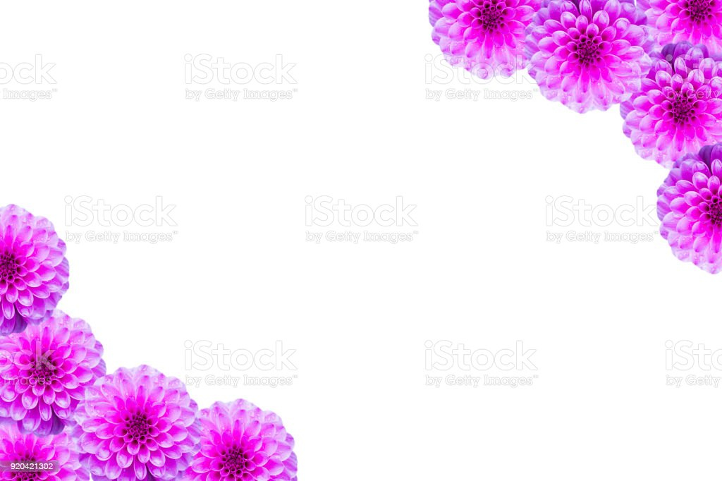 Floral postcard with Pink flowers Dahlia on white stock photo