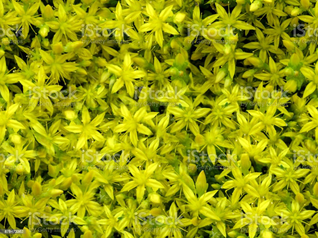 Floral seamless background of small yellow Sedum acre flowers stock photo