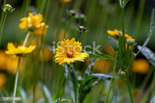 Floral seasonal background or banner. Delicate yellow flower Careopsis or yellow chamomile on background of blurred greenery in spring park. Blooming in garden. Shallow depth of field