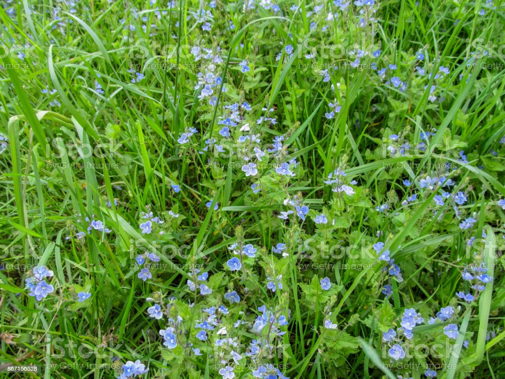 Floral simple background with beautiful gentle small blue meadow flowers of the birdwell-eye speedwell stock photo
