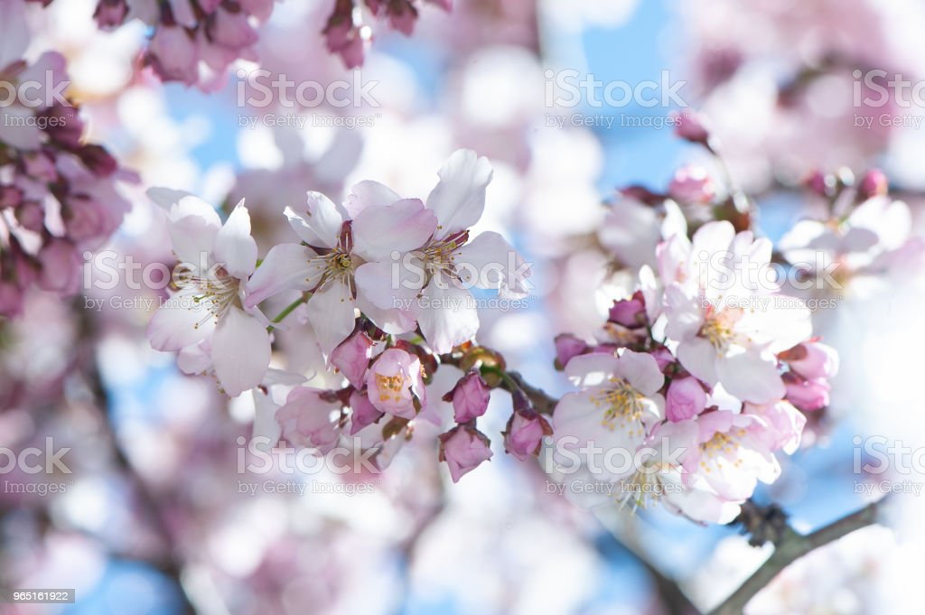 Floral spring gentle background, blooming cherry sakura branches in blue and pink tones. zbiór zdjęć royalty-free