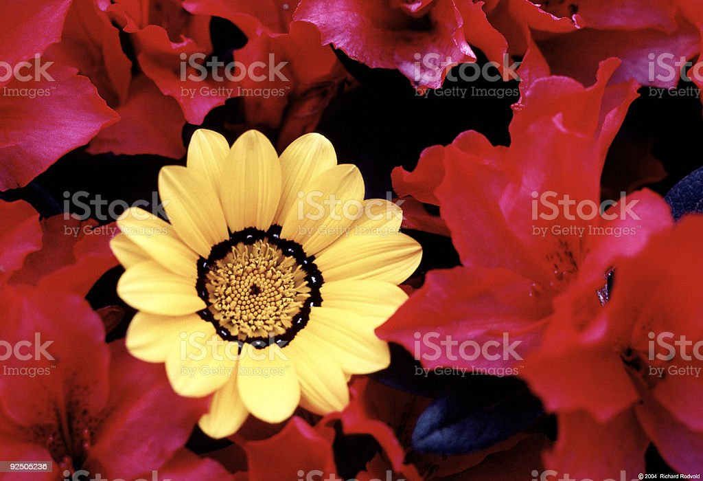 Floral study in Yellow & Red stock photo
