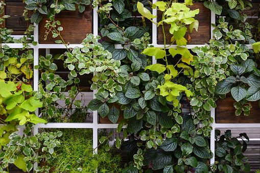 Floral wall, trellis of living decorative leafy plants. Decorative floral arrangement of plectranthus, ivy and asparagus.