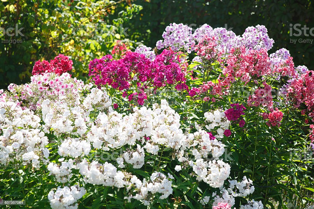 Floral wallpaper. Multicolored phlox in the garden. stock photo