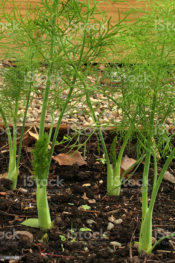 Florence fennel stock photo