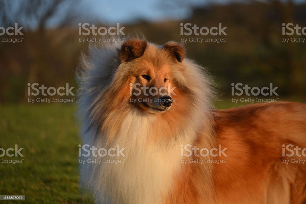 Florence the rough collie stock photo