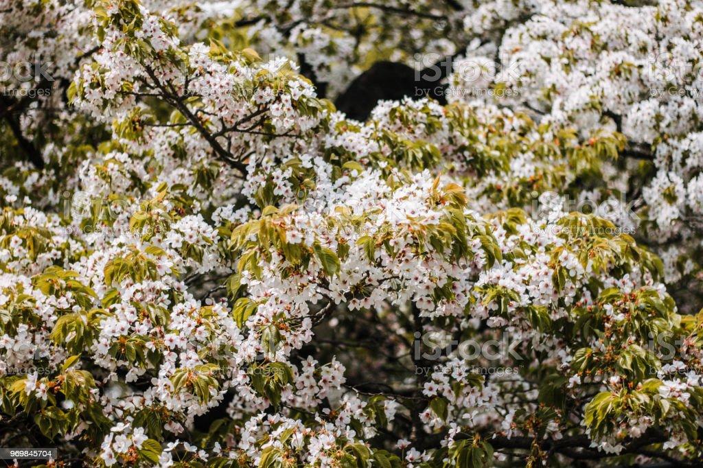 Flores de Cerezo Japones - foto de stock