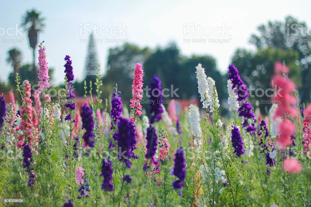 Flores De Lavanda Stock Photo More Pictures Of Flower Istock