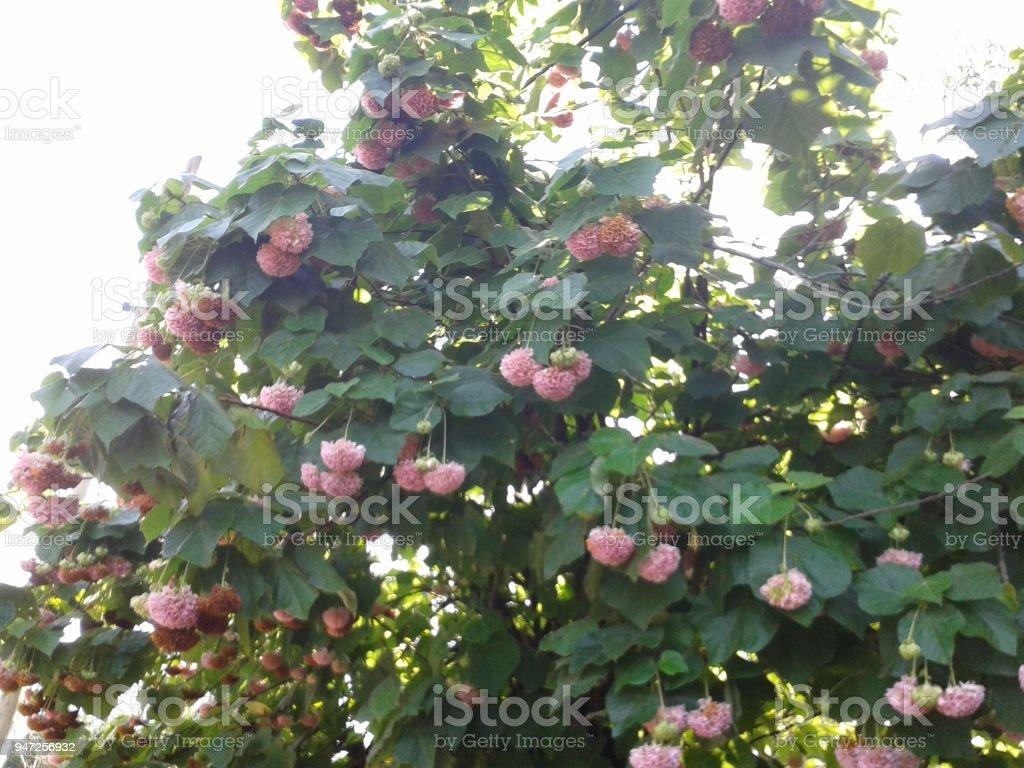 Flores Pendentes stock photo