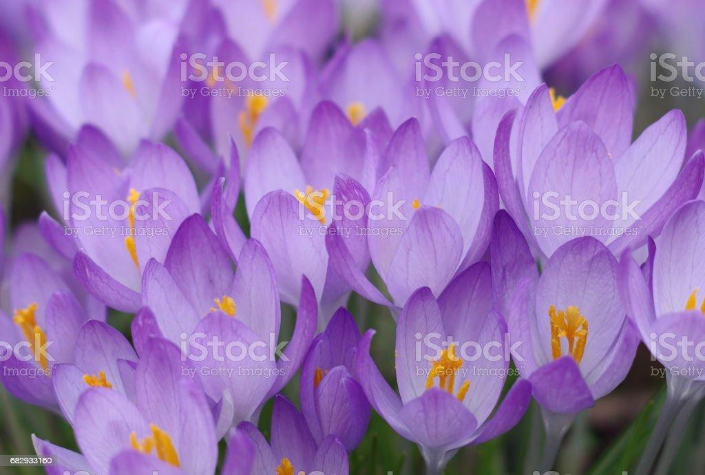 Florescence of crocuses stock photo