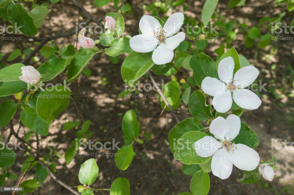 Florescence of Cydonia oblonga in spring orchard stock photo
