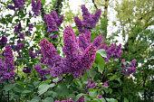 Florescence of Syringa vulgaris (common lilac) springtime. lilac blooming, Spring.