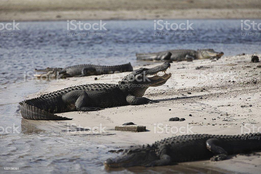 Florida Alligators stock photo