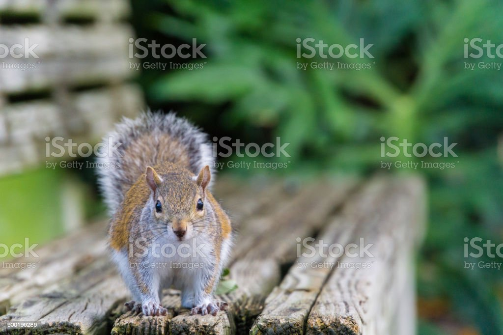 USA, Florida, Beautiful brown squirrel looking from wooden bench stock photo