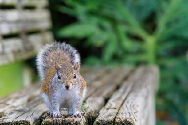 usa, florida, beautiful brown squirrel looking from wooden bench - squirrel stock photos and pictures