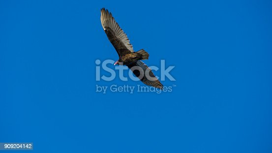 USA, Florida, Big bird - Turkey vulture flying in the air in everglades national park