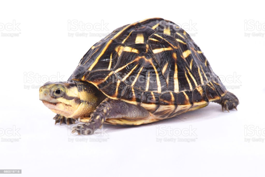 Florida box turtle,Terrapene carolina bauri stock photo