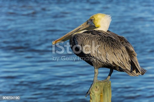 USA, Florida, Brown pelican sitting on a wood pile near water