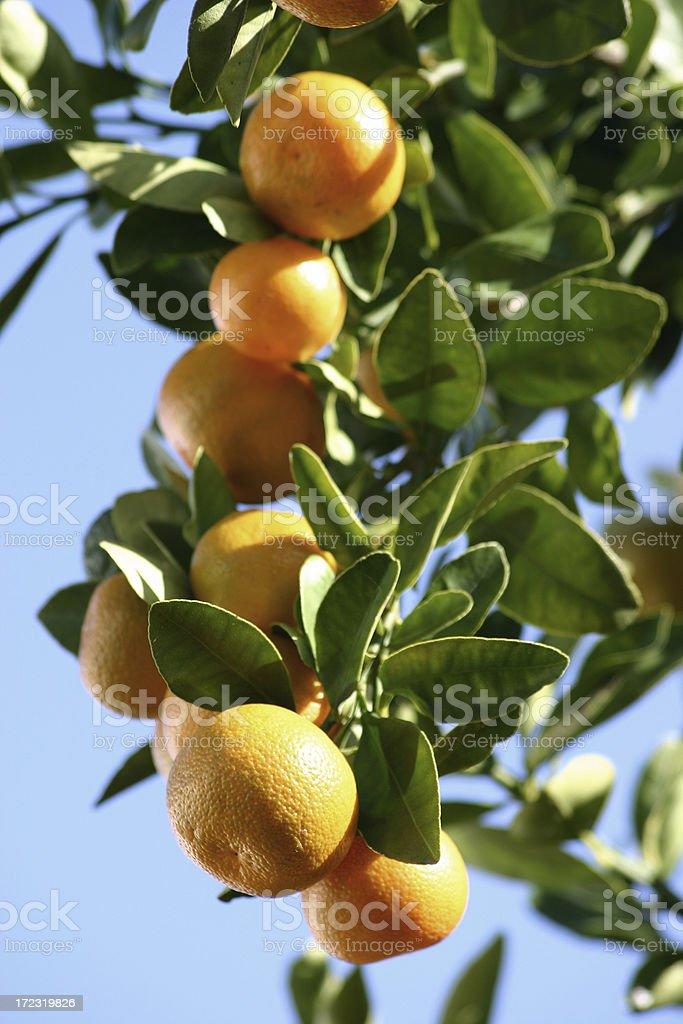 Florida Citrus Orange Tree stock photo