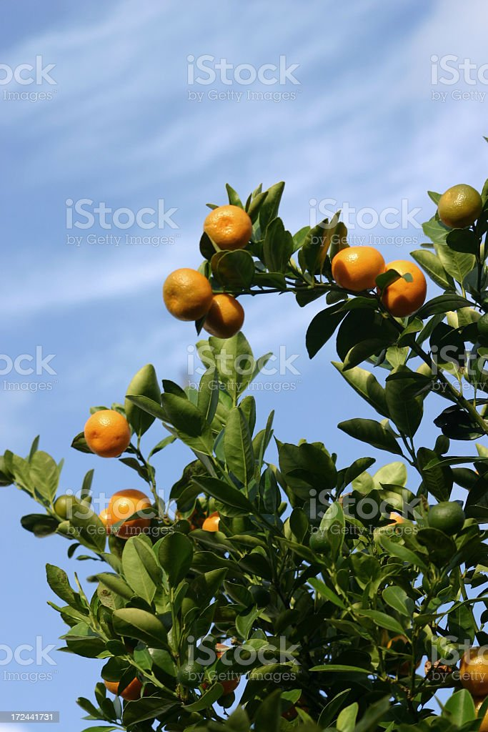 Florida Citrus Tree & Sky royalty-free stock photo